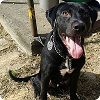 Labrador Retriever Mix Dog for adoption in menlo park, California - London