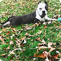 American Staffordshire Terrier/Pit Bull Terrier Mix Dog for adoption in Knoxville, Tennessee - Layla