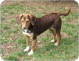 Beagle Mix Dog for adoption in Blairstown, New Jersey - Miley