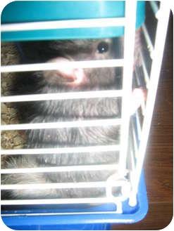 Rat for adoption in Cincinnati, Ohio - Bethie