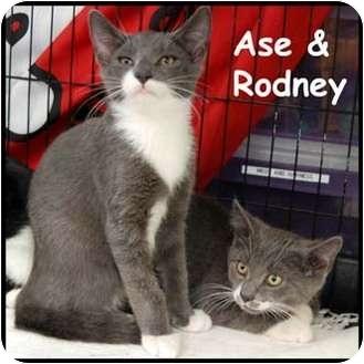 Domestic Shorthair Cat for adoption in Merrifield, Virginia - Ase