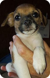 Terrier (Unknown Type, Small)/Chihuahua Mix Puppy for adoption in Trenton, New Jersey - Marta