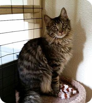 Domestic Longhair Cat for adoption in Prescott, Arizona - Little Louie