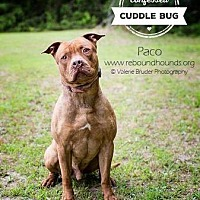 Pit Bull Terrier Mix Dog for adoption in Ridgewood, New Jersey - PACO