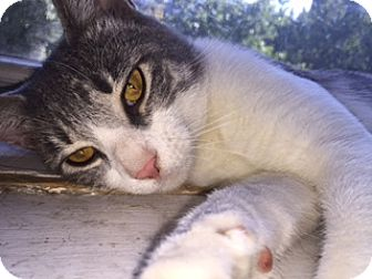 Domestic Shorthair Cat for adoption in Brooklyn, New York - Martin