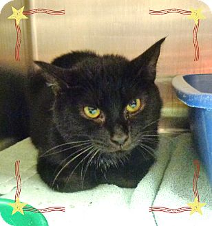 Domestic Shorthair Cat for adoption in Marietta, Georgia - STRETCH (R)