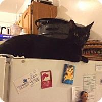 Bombay Cat for adoption in Brooklyn, New York - Beautiful Bombay Onyx