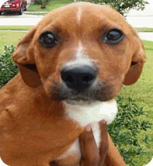 Plott Hound Mix Puppy for adoption in Fort Collins, Colorado - Frankie
