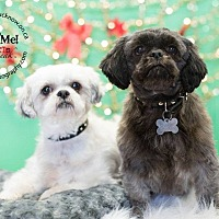 Shih Tzu Mix Dog for adoption in Lucknow, Ontario - Pria & Maggie- Bonded