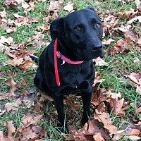Labrador Retriever/Terrier (Unknown Type, Medium) Mix Dog for adoption in mt sterling, Missouri - Riley