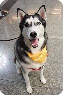 Husky Dog for adoption in Richmond, British Columbia - Ha Jiang