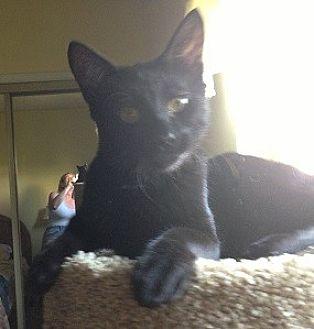 Oriental Cat for adoption in Burbank, California - INC