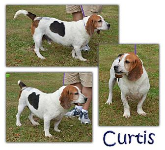 Basset Hound Dog for adoption in Marietta, Georgia - Curtis
