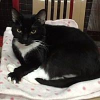 Domestic Shorthair Cat for adoption in Centerville, Georgia - Fancy