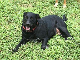 Labrador Retriever/Australian Cattle Dog Mix Dog for adoption in Olympia, Washington - Nalia