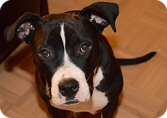 Pit Bull Terrier/American Staffordshire Terrier Mix Dog for adoption in New York, New York - Rachel