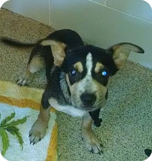 Chihuahua/Terrier (Unknown Type, Small) Mix Puppy for adoption in Gloucester, Virginia - LUCKY