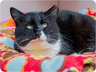 Domestic Shorthair Cat for adoption in Corinne, Utah - Max