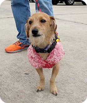 Dachshund/Terrier (Unknown Type, Small) Mix Dog for adoption in Denver, Colorado - Dobbie