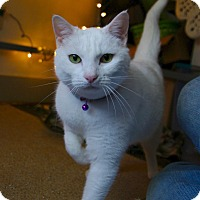 Adopt A Pet :: Miss Pearl (arriving 3/24) - Manchester, CT
