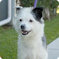 Adopt A Pet :: Scout - Long Beach, CA