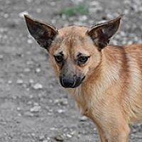 Adopt A Pet :: Rusty - Jarrell, TX