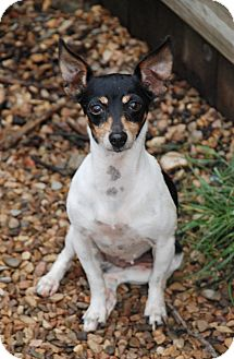 Rat Terrier Dog for adoption in Virginia Beach, Virginia - Nellie