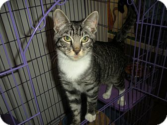 Domestic Shorthair Cat for adoption in Bayonne, New Jersey - Adam