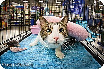 Domestic Shorthair Cat for adoption in Long Beach, California - Avery