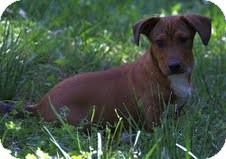 Dachshund Mix Puppy for adoption in Washington, D.C. - Marco ($200 adoption fee)