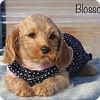 Adopt A Pet :: Blossom - Albany, NY