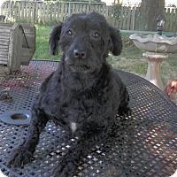 Adopt A Pet :: Stella - Clarksville, TN