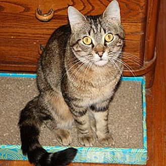 Domestic Mediumhair Cat for adoption in Garner, North Carolina - Spidey