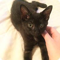 Domestic Shorthair Kitten for adoption in Astoria, New York - LittleFoot- COURTESY- FLV+