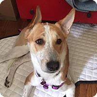 Adopt A Pet :: Taj *Indian Pariah Dog* - Monroe, NJ