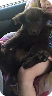 Shepherd (Unknown Type)/Weimaraner Mix Puppy for adoption in Hazard, Kentucky - Coco