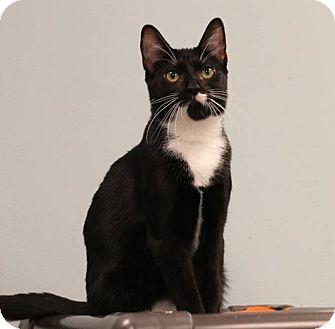 Domestic Shorthair Cat for adoption in Byron Center, Michigan - Arya