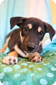 Husky/Labrador Retriever Mix Puppy for adoption in Hagerstown, Maryland - Mercy