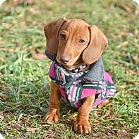 Adopt A Pet :: Senta - Pleasant Plain, OH