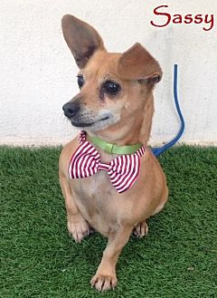 Dachshund/Corgi Mix Dog for adoption in San Diego, California - Sassy