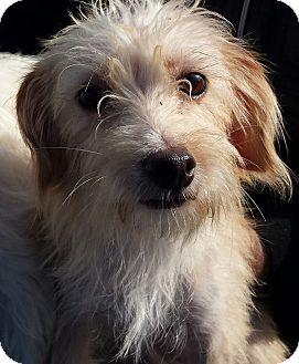 Maltese/Border Terrier Mix Dog for adoption in El Cajon, California - Bianca