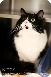 Domestic Shorthair Cat for adoption in Appleton, Wisconsin - Kitty