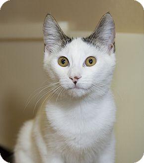Domestic Shorthair Kitten for adoption in Farmingdale, New York - Vera