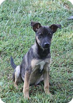Shepherd (Unknown Type) Mix Puppy for adoption in Danbury, Connecticut - Wilbur