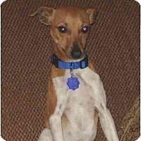 Adopt A Pet :: Sammy - Albany, NY