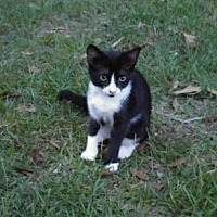 Domestic Shorthair Cat for adoption in Poplarville,, Mississippi - Dana