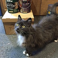 Domestic Longhair Cat for adoption in San Jose, California - Sabine