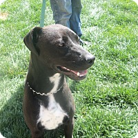 Labrador Retriever/Pit Bull Terrier Mix Dog for adoption in Worland, Wyoming - Baylee