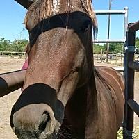 Quarterhorse Mix for adoption in Hitchcock, Texas - Kibo