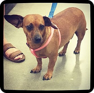 Dachshund Mix Dog for adoption in Grand Bay, Alabama - Dixie